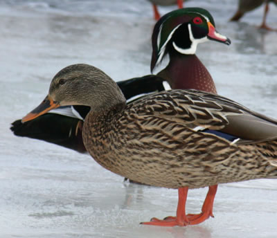 Male Wood Duck visits Rideau River near Coop Voisins